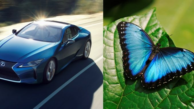 structural blue lexus butterfly