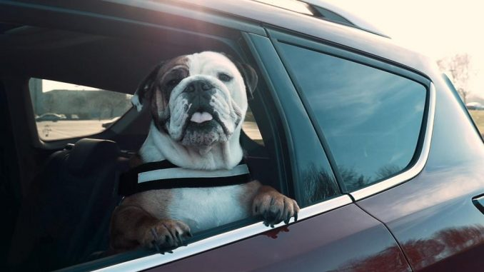 dog restrained in car